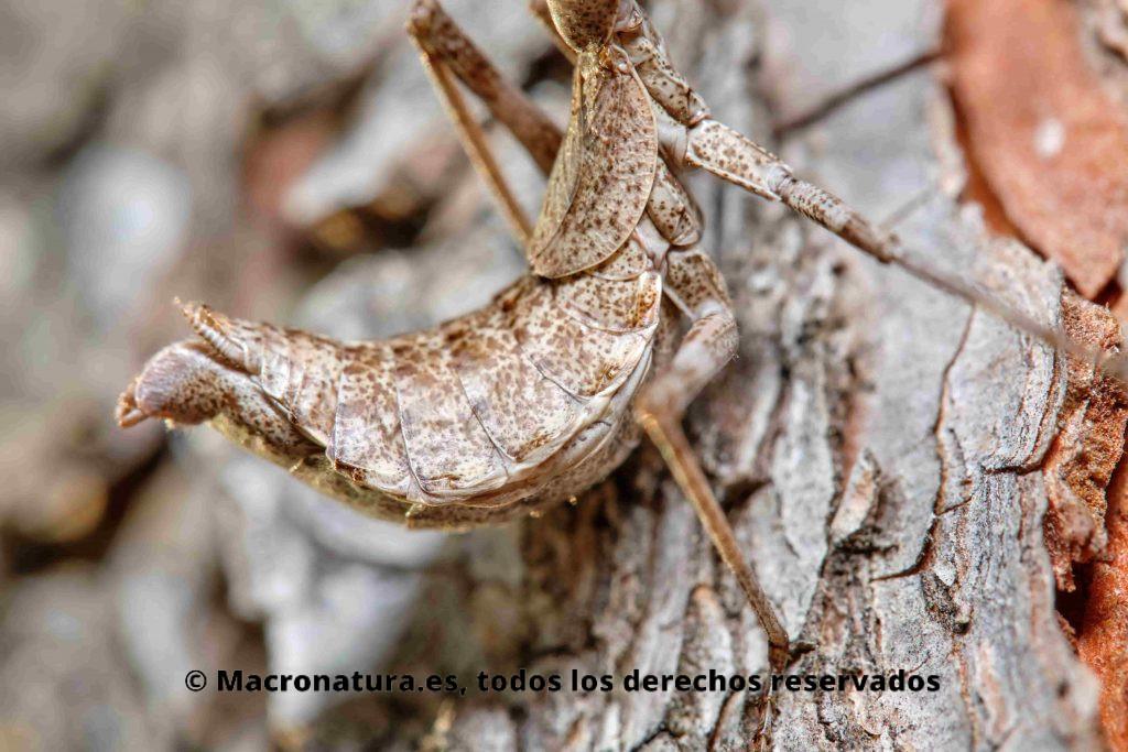 Detalle de abdomen curvado de una Mantis europea Ameles spallanzania