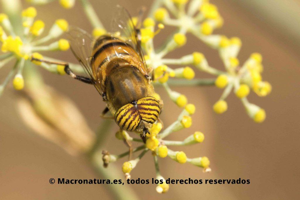Mosca Eristalinus taeniops. Mosca Tigre sobre una flor de hinojo. Moscas de las flores Eristalinus