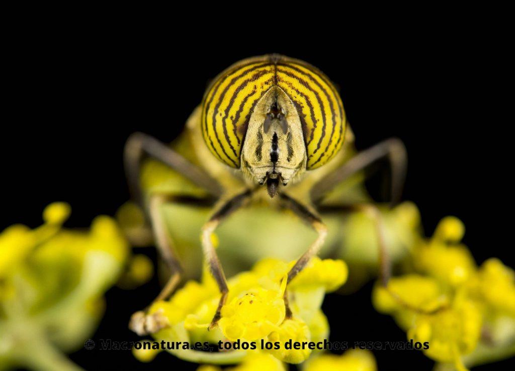 Mosca Eristalinus taeniops. Mosca Tigre sobre una flor de hinojo en un fondo negro. Moscas de las flores Eristalinus