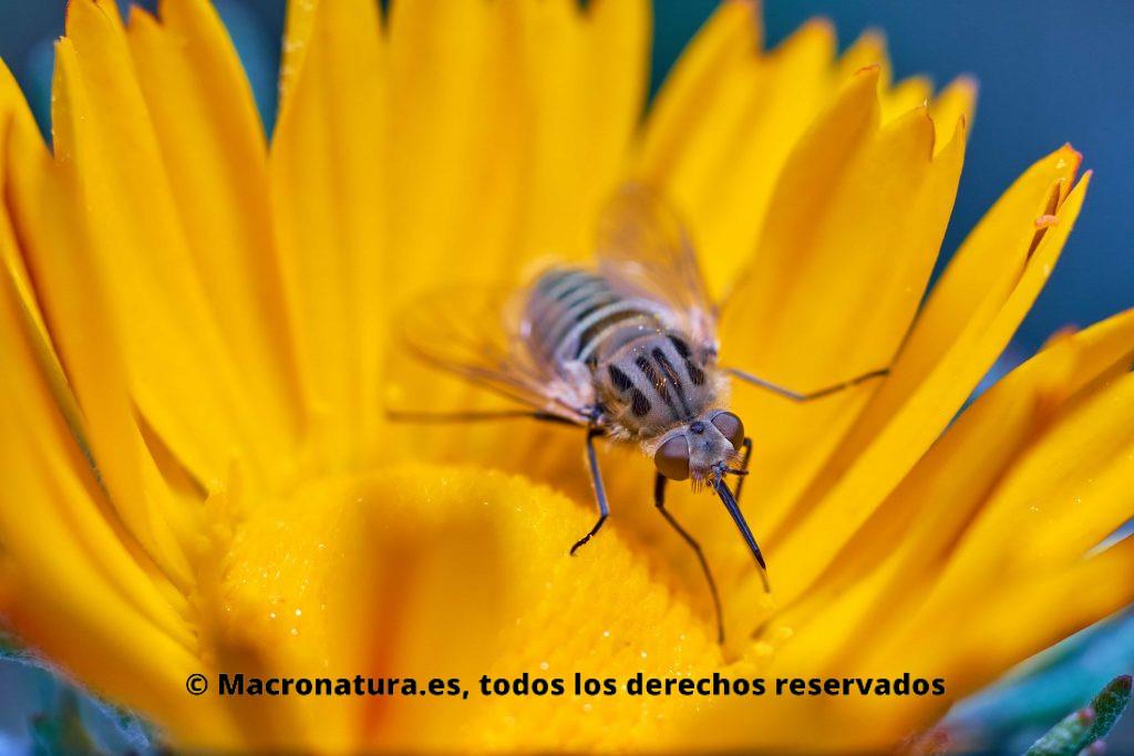 Detalle del cuerpo de una Parageron loewi sobre una flor amarilla