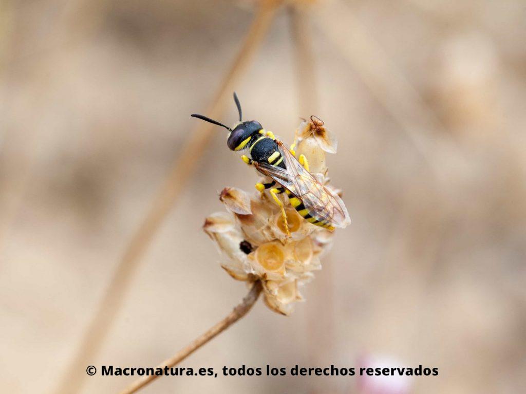 Abeja Pseudoanthidium Lituratum sobre una planta seca. Parecido razonable a una avispa