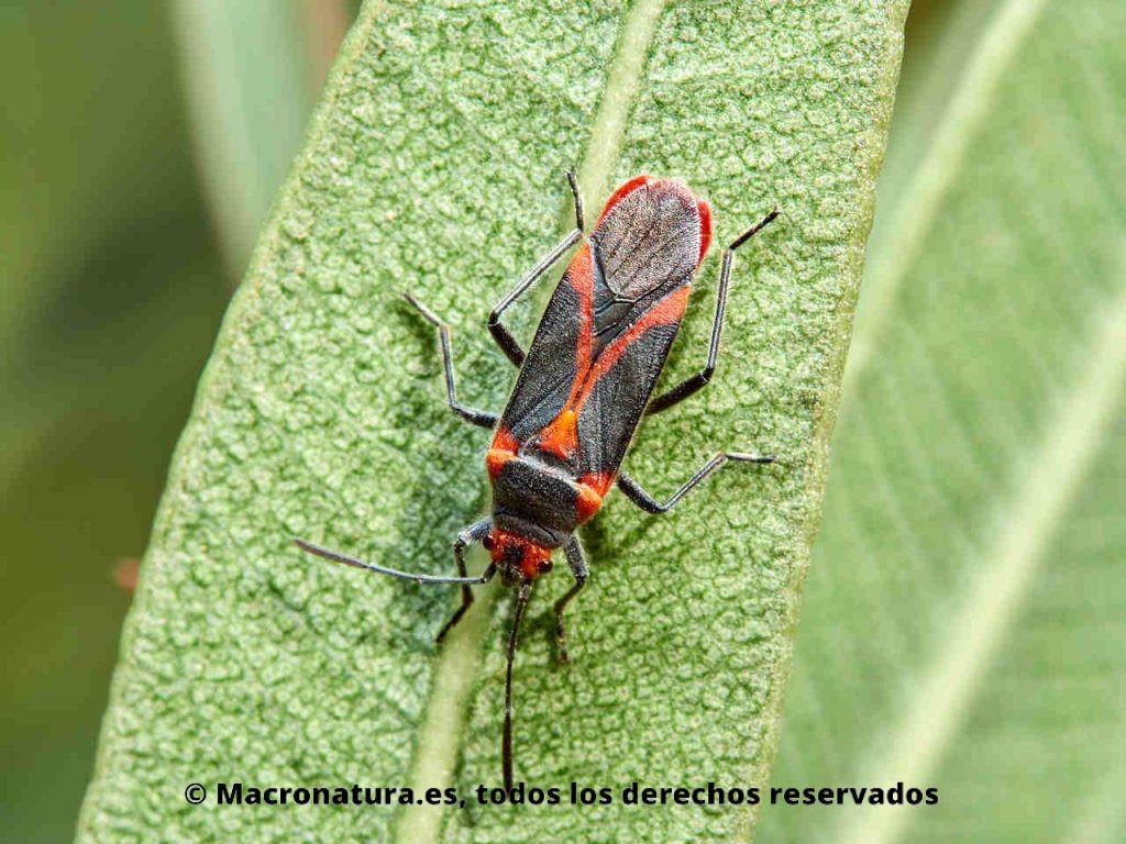 Chinche de las adelfas Caenocoris nerii sobre una hoja de adelfa
