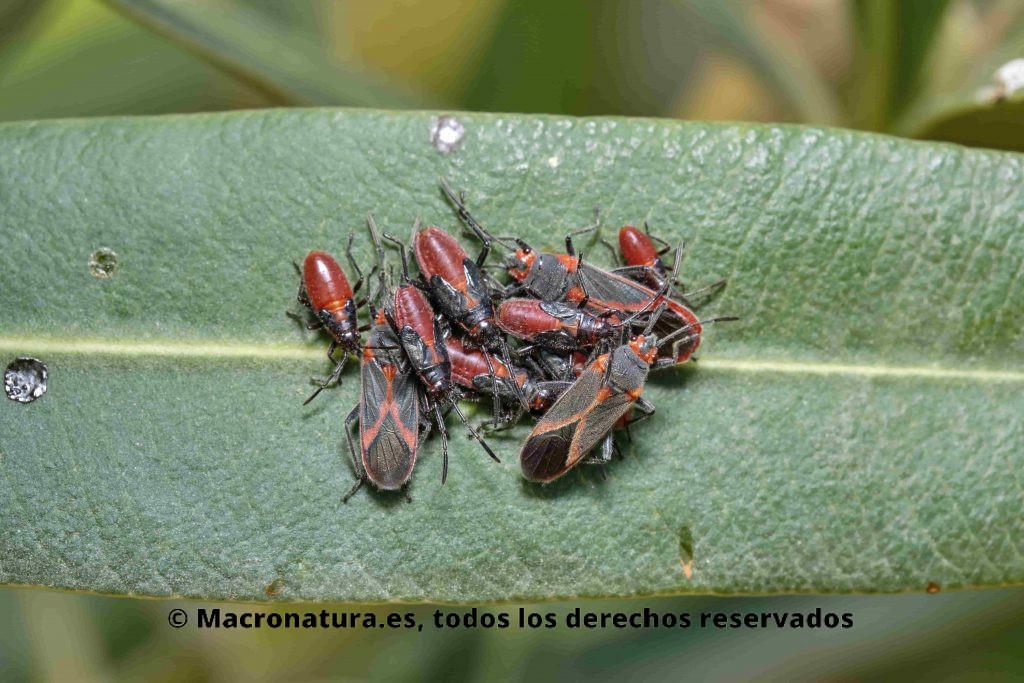 Un grupo de Chinches de las adelfas Caenocoris nerii.