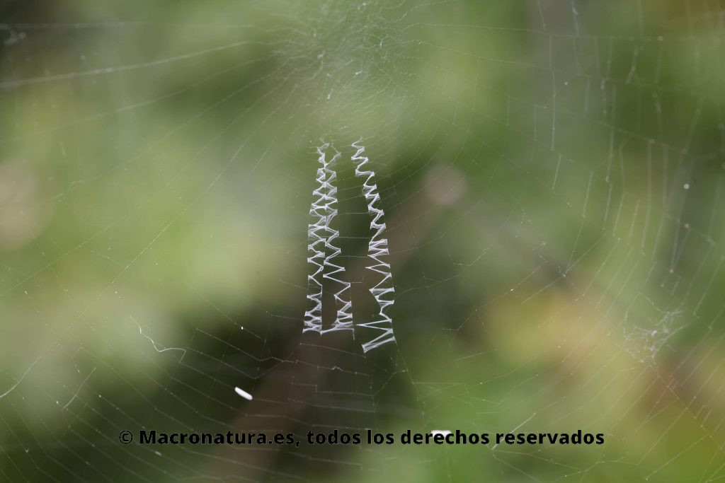 tejido en zig-zag, llamada stabilimentum Araña Argiope Trifasciata. Araña de jardín bandeada