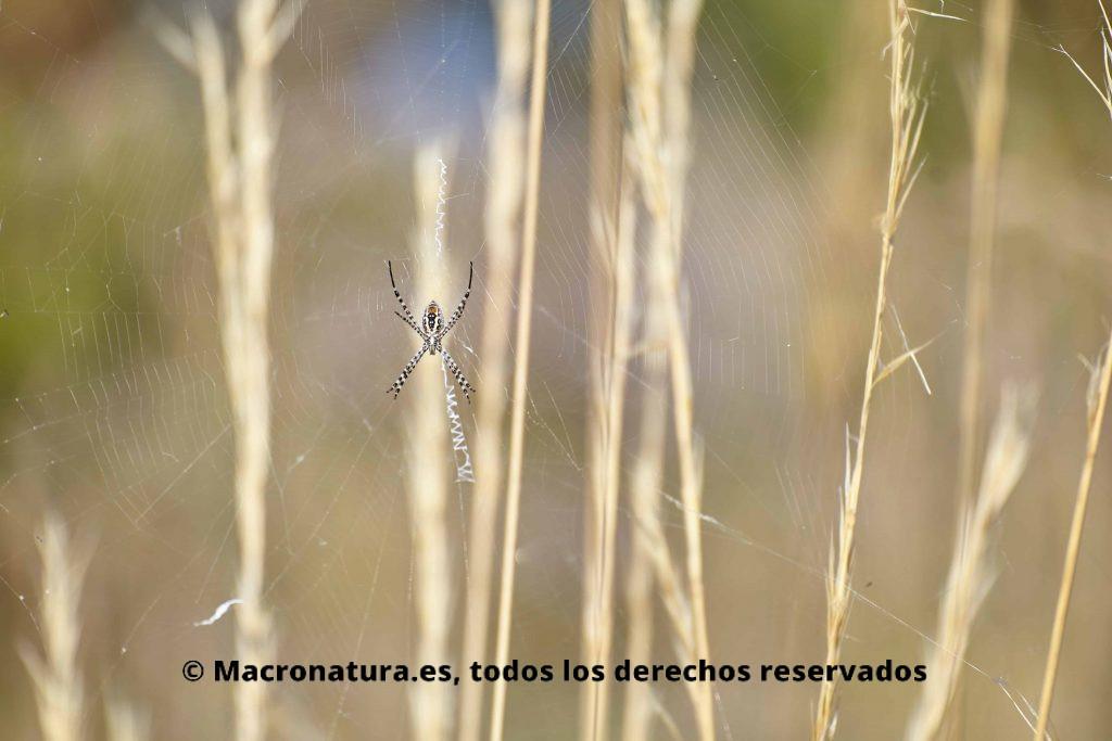 Araña Argiope Trifasciata. Araña de jardín bandeada en su inmesa tela de araña