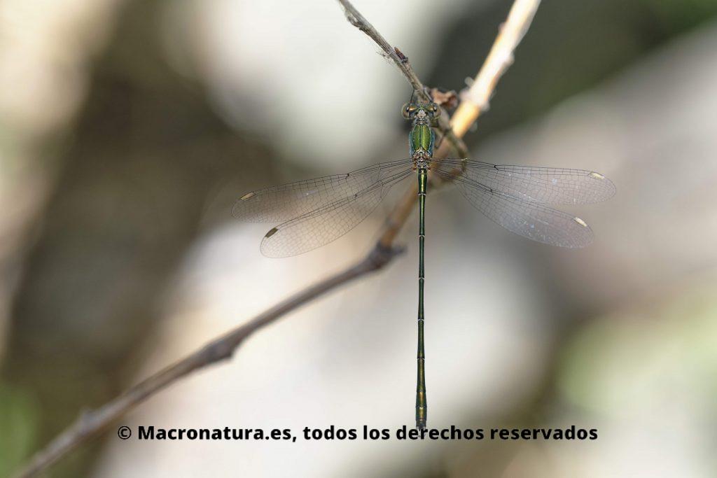 Lestes Viridis sobre una rama. Caballito del diablo verde metálico.