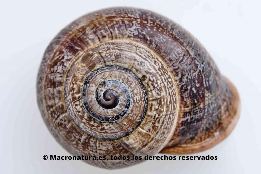 Caracol Otala Punctata. Se observa la concha.