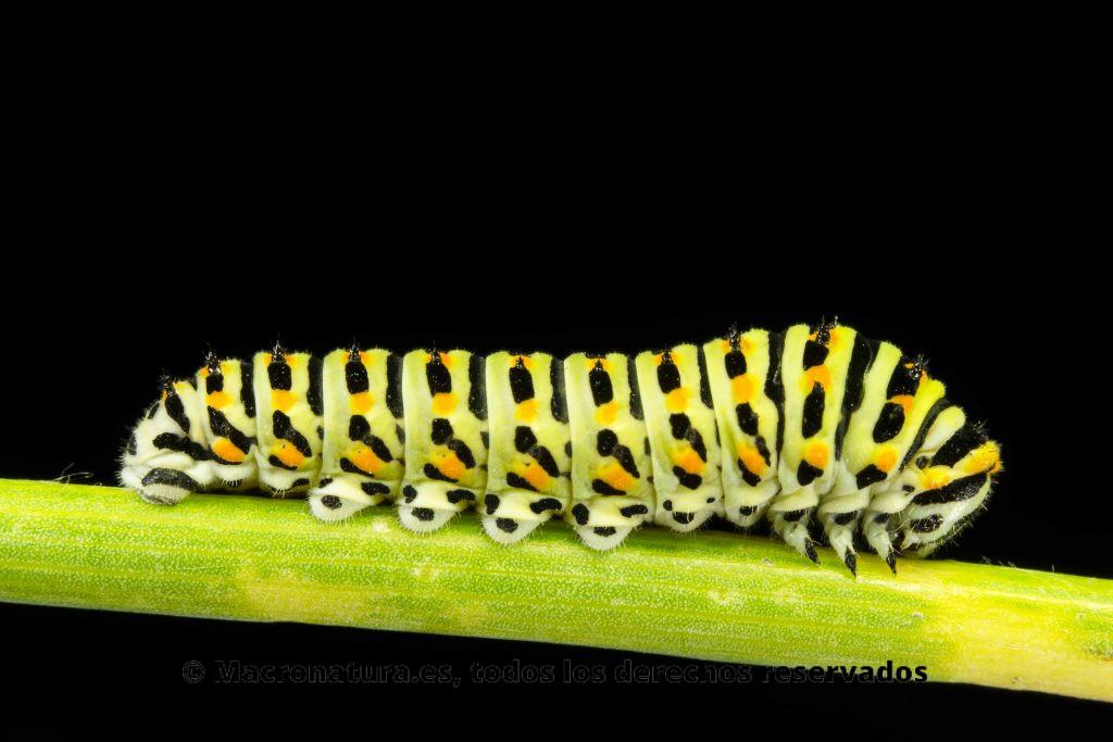 Oruga Macaón o Mariposa rey Papilio Machaon lateral sobre un fondo negro