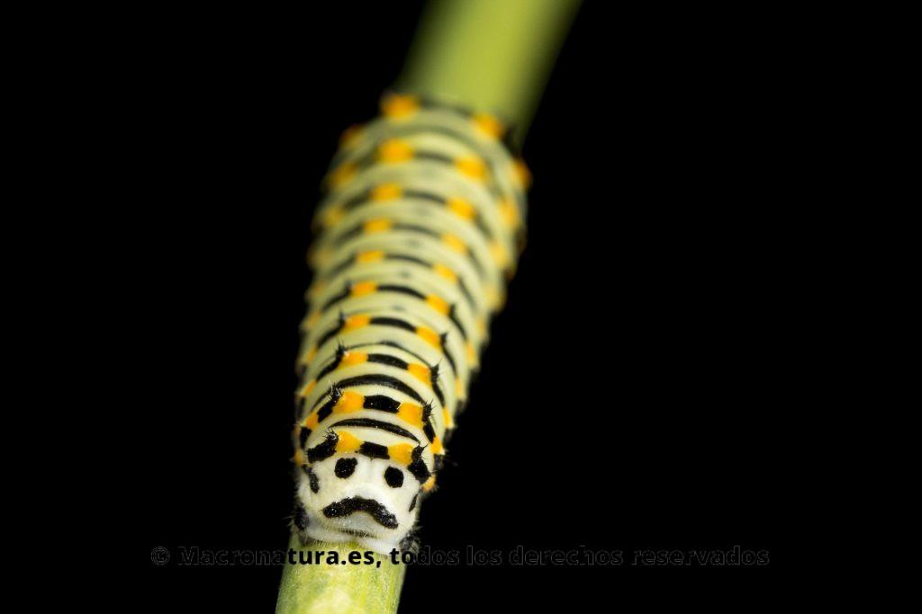 Oruga de Papilio Machaon sobre un tallo de hinojo y fonfo negro. La parte trasera parace una cara con bigote