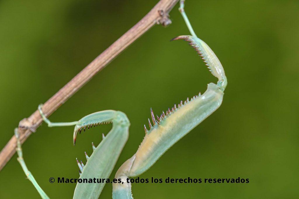 Patas, tibia y femur de Sphodromantis viridis