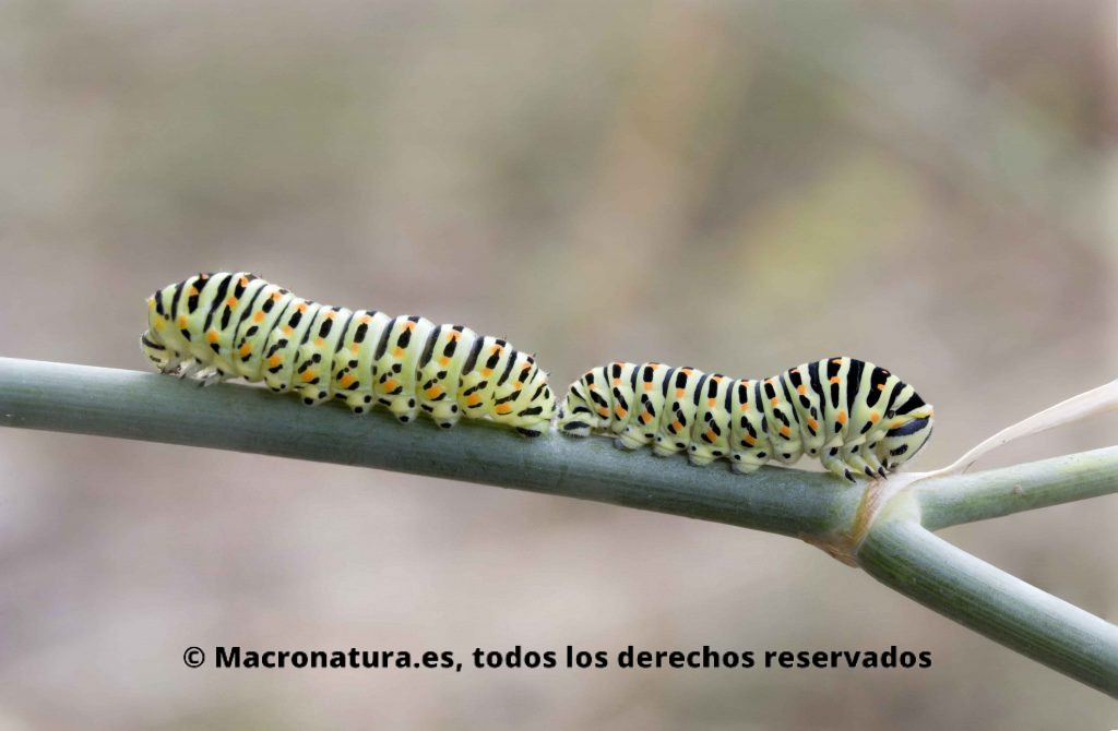 Dos orugas Macaón o Mariposa rey Papilio Machaon juntas pero parecen enfadadas. Además se aprecia que tienen las cabezas de diferente tamaño.