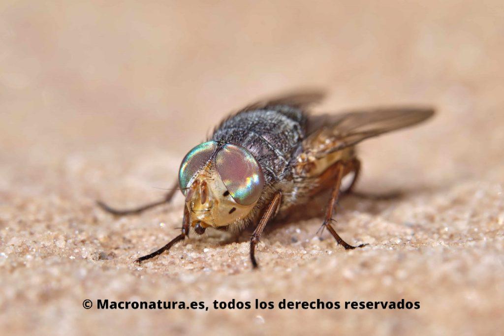 rhyncomyia columbina de frente. Se observa claramente la cabeza y ojos de colores