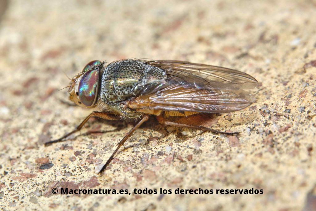 rhyncomyia columbina lateral. ojos de colores