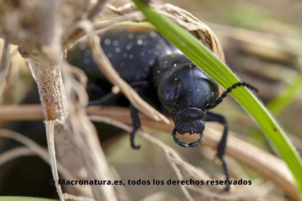 Primer plano de Aceitera Común Berberomeloe Majalis sobre la maleza. Detalle de la cabeza