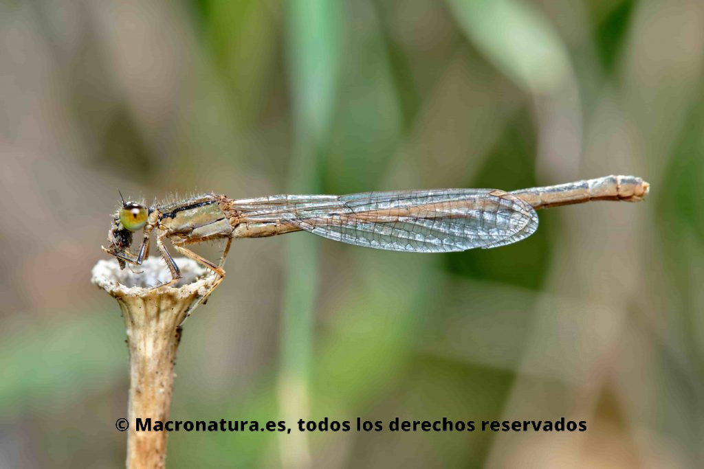 Caballito del Diablo Ischnura graellsii hembra sobre un tallo comiendo un insecto