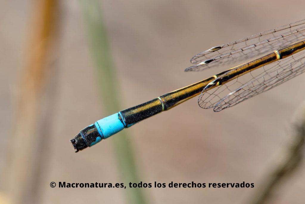 Caballito del Diablo Ischnura graellsii detalle de color azul en la cola