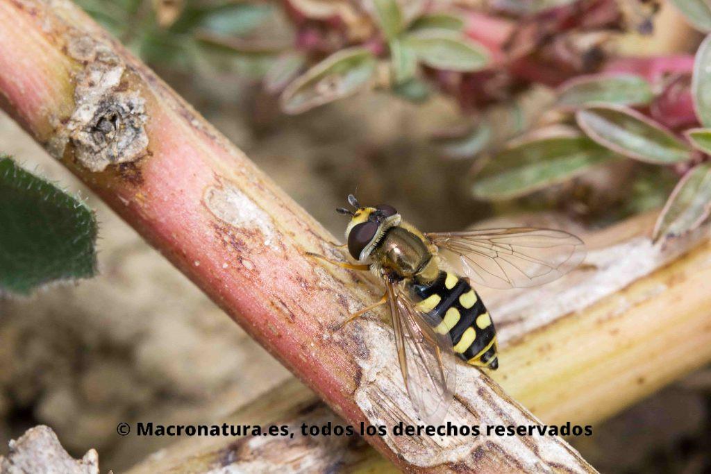 Mosca de las flores Eupeodes Corollae entre hierbas y flores. Detalle del abdomen.
