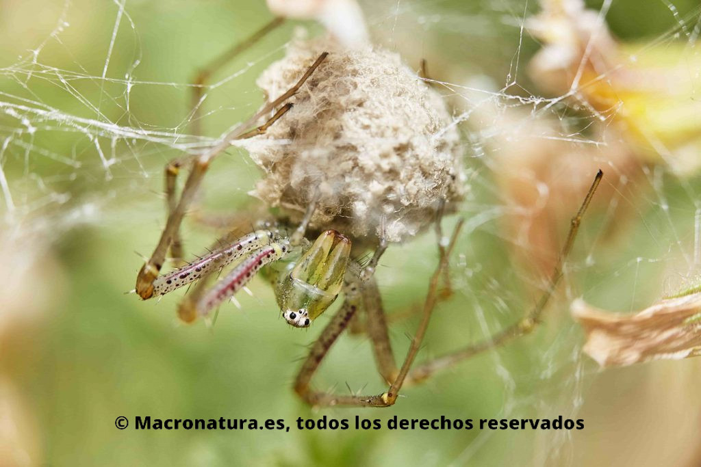 Peucetia viridis Araña Lince Verde en posición boca abajo protegiendo una puesta de huevos