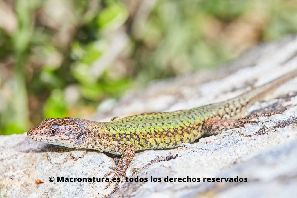 Podarcis vaucheri. lagartija andaluza tomando el sol en una piedra. Se observa el cuerpo verdoso con escamas y puntos.