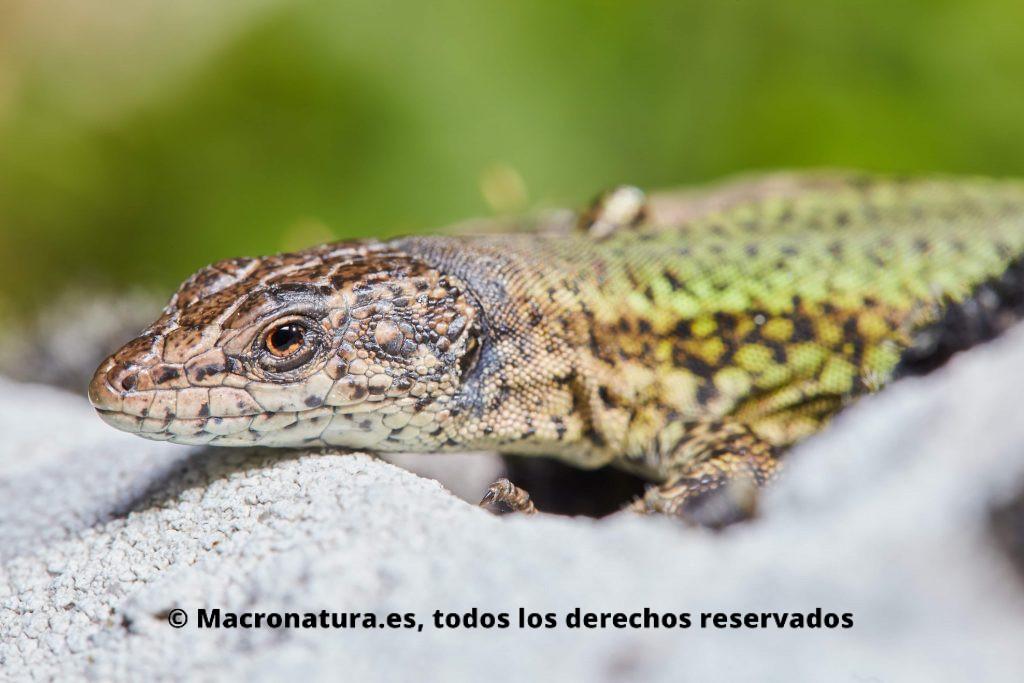 Podarcis vaucheri. lagartija andaluza tomando el sol en una piedra. Se observa el cuerpo verdoso con escamas y puntos. Detalle de cabeza.