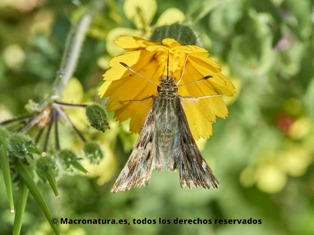Mariposas Piquitos género Carcharodus baeticus sobre un flor amarilla