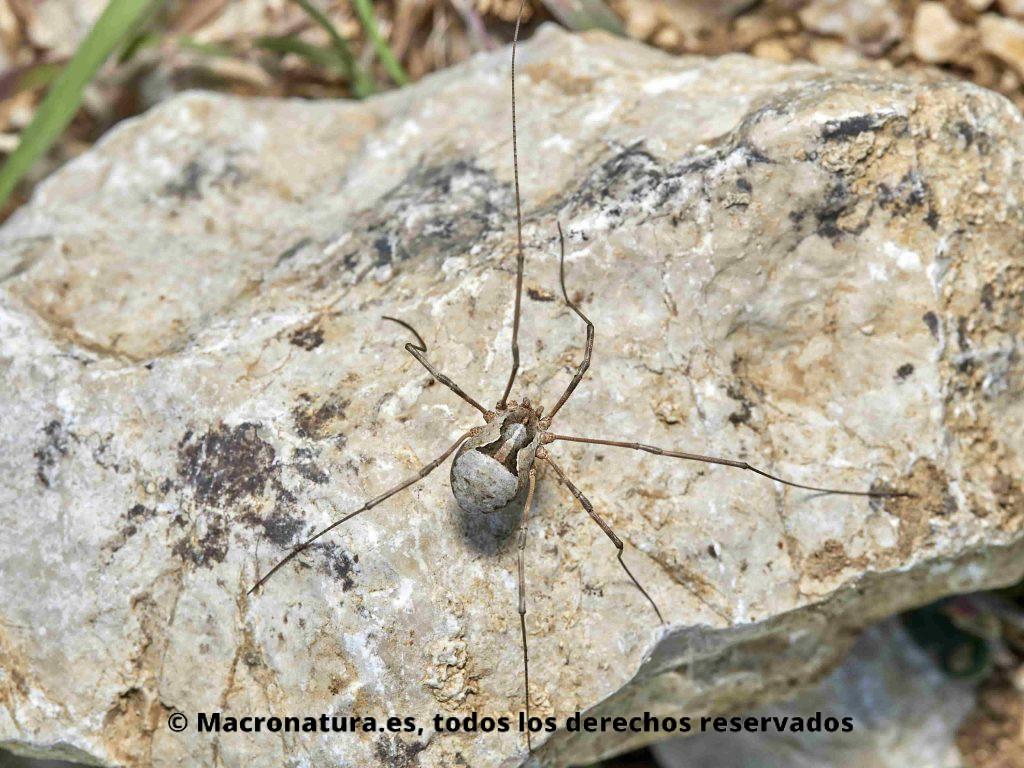 Arañas Patonas Opiliones. Opilion Metaphalangium cirtanum sobre una piedra