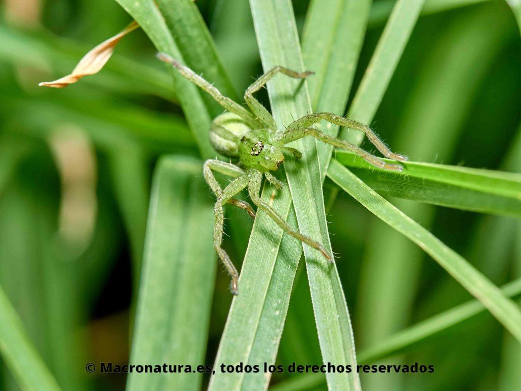 Foto de Araña Micrommata virescens hembra sobre hierba.