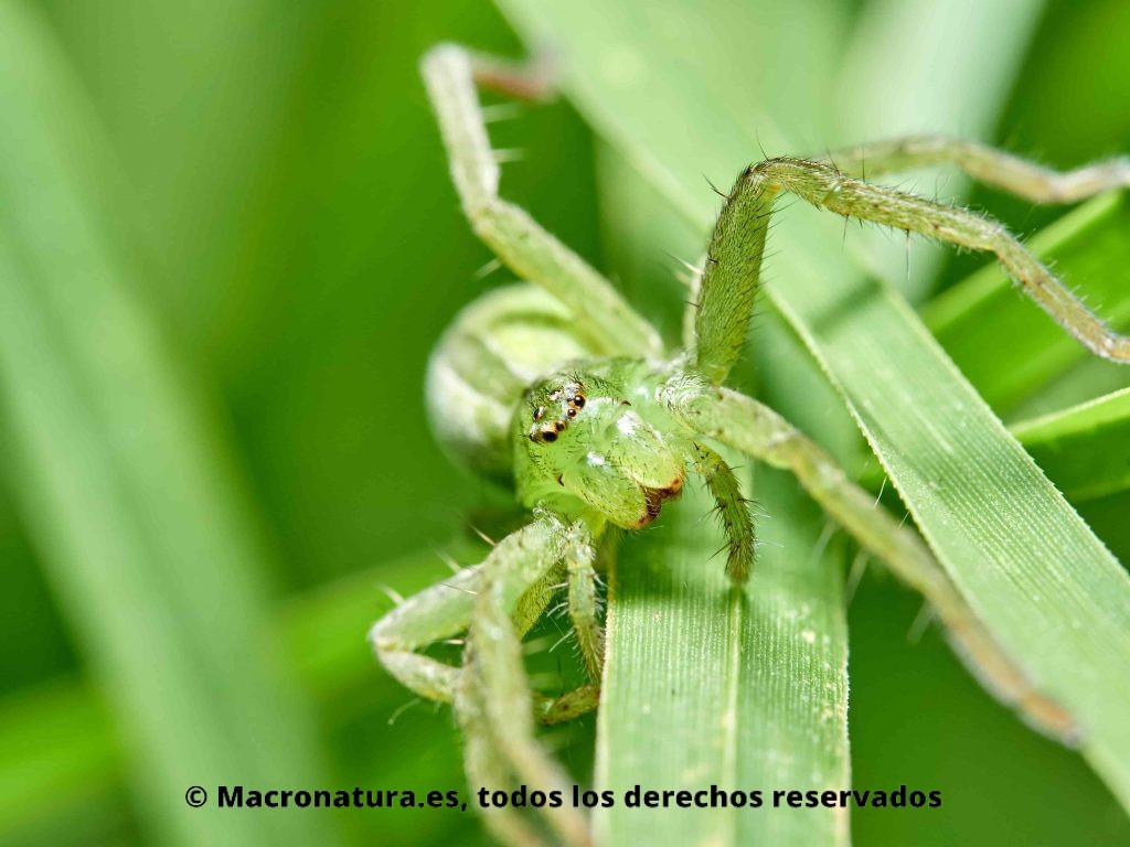 Foto de Araña Micrommata virescens hembra sobre hierba. Vista frontal