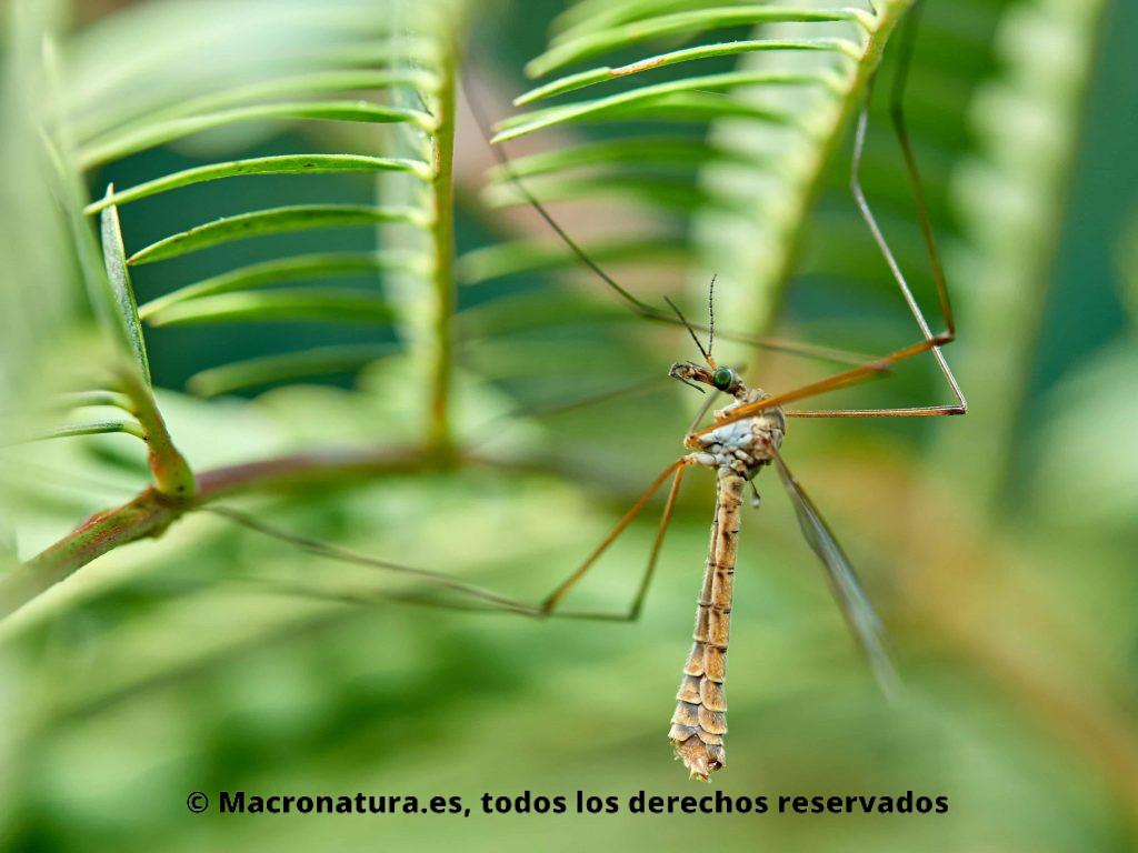 Mosquito gigante Típula vista lateral
