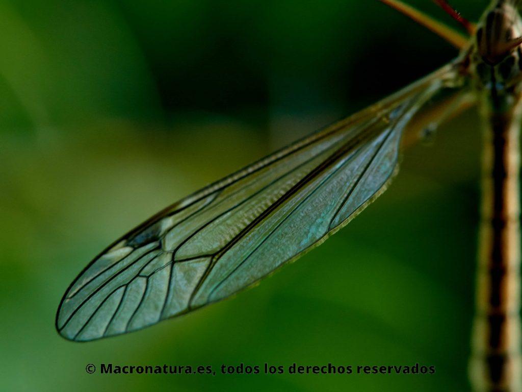 Detalle de ala de Mosquito gigante Típula vista frontal