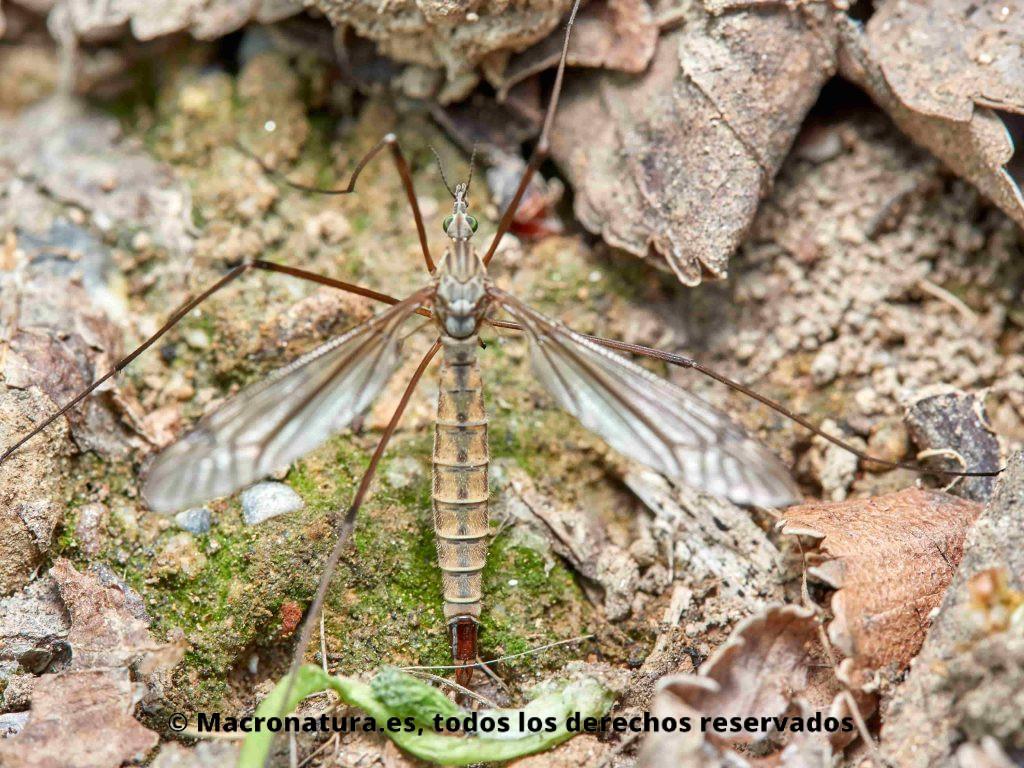 Mosquito gigante Típula en una zona de jardines