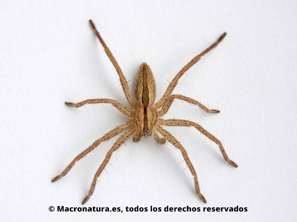 Un ejemplar de araña Micrommata ligurina juvenil en un fondo blanco
