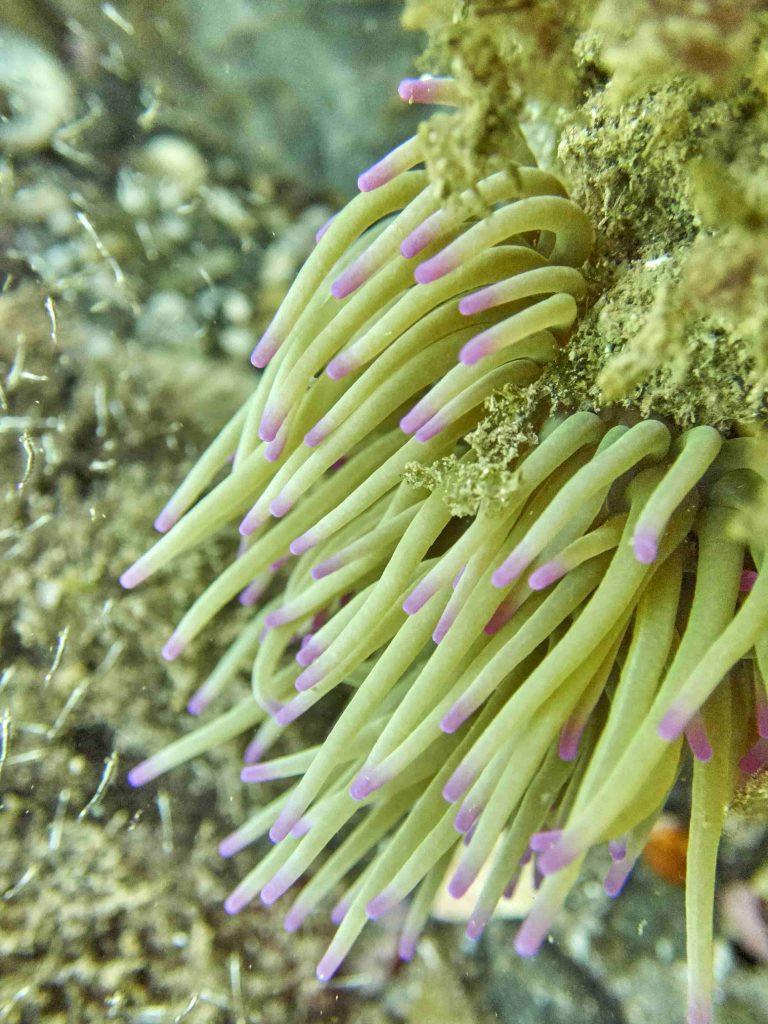 Una Anémona común Anemonia Sulcata con las puntas color púrpura