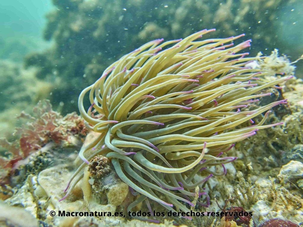 Una Anémona común Anemonia Sulcata en movimiento por la corriente marina