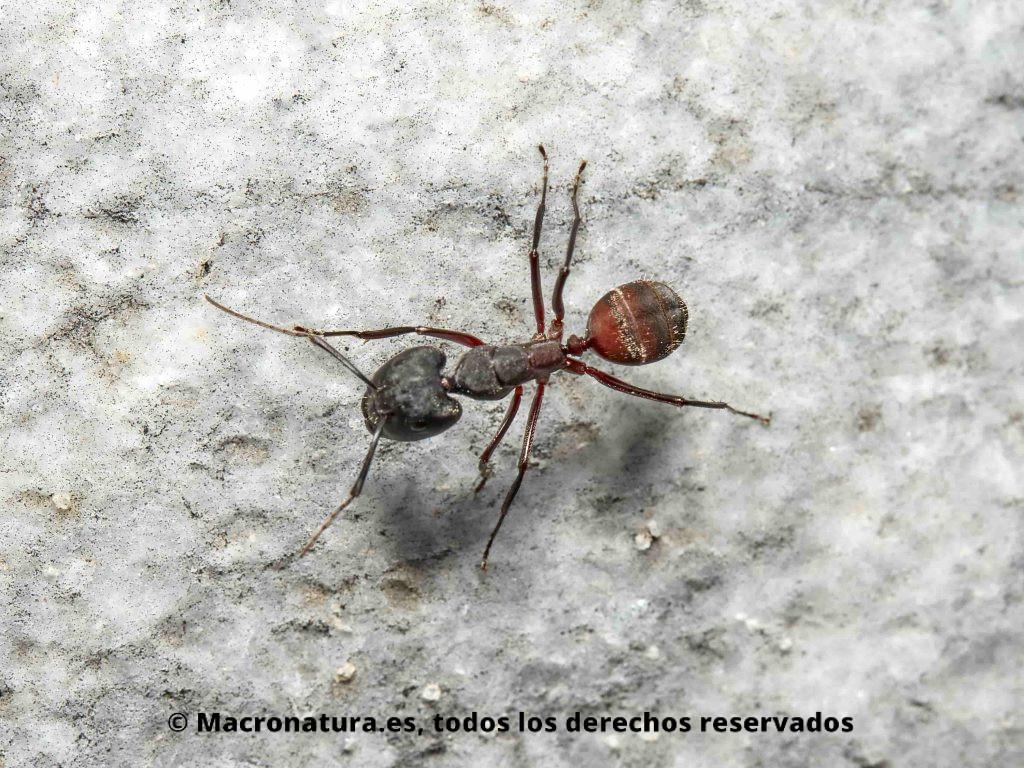 Hormiga maderera Camponotus cruentatus abdomen