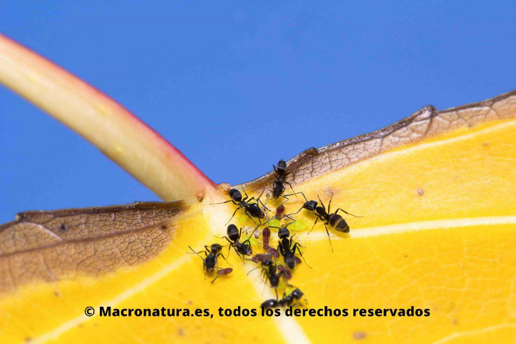 Una hormiga con un grupo de pulgones en una hoja amarilla. Simbiosis entre hormigas y pulgones
