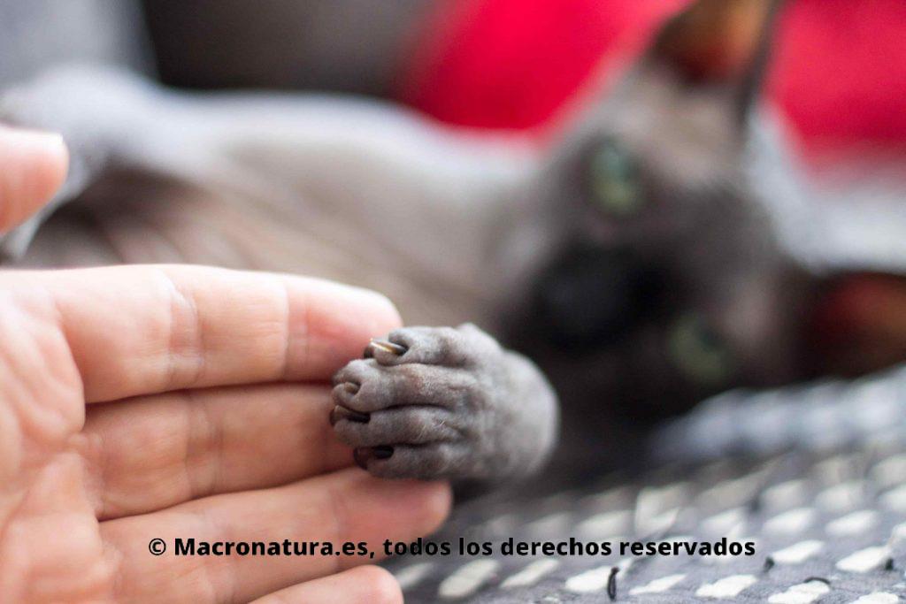 Un gato doméstico dando su pata a una persona. Animales y Coronavirus Covid-19