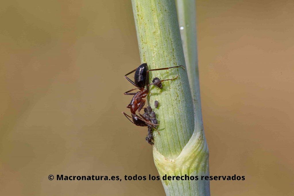 Una hormiga con un grupo de pulgones en una planta de hinojo. Simbiosis entre hormigas y pulgones