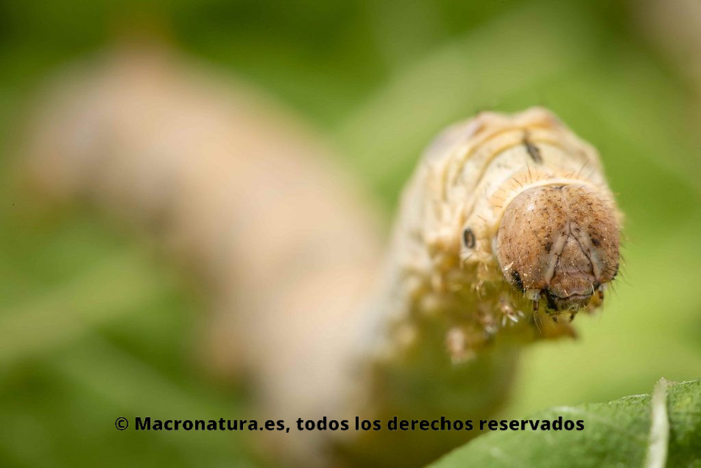 Detalla de cabeza de Gusanos de seda Bombyx mori. Típica pose de muda con las patas delanteras levantadas.