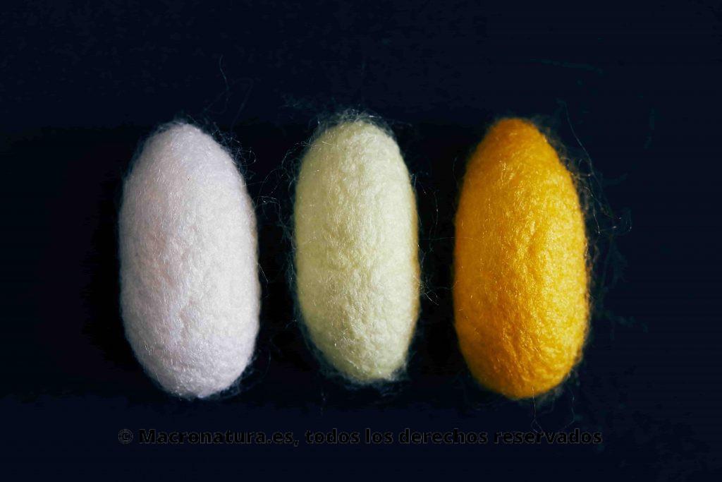 Diferentes colores de los capullos de Gusanos de seda Bombyx mori