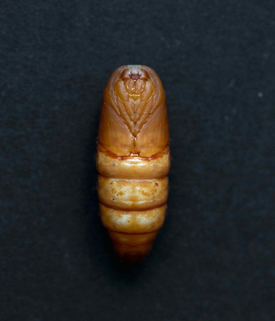 Pupa de larva de Gusanos de seda Bombyx mori. Pupa extraída del interior de un capullo de seda.