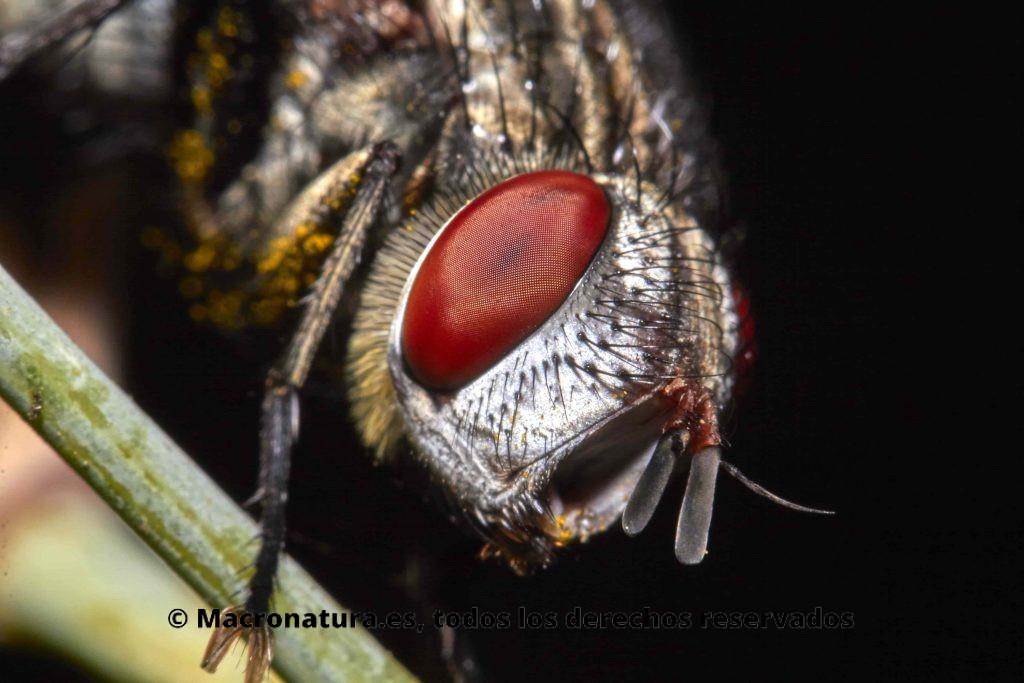 Moscas carroñeras de la Familia Sarcophagidae. Primer plano. Ojos rojos.