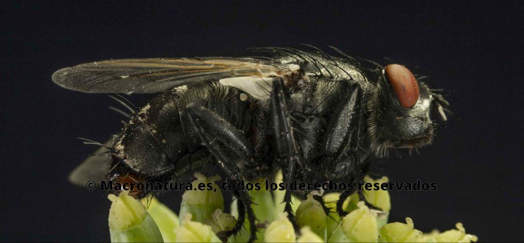 Moscas carroñeras de la Familia Sarcophagidae. Vista lateral