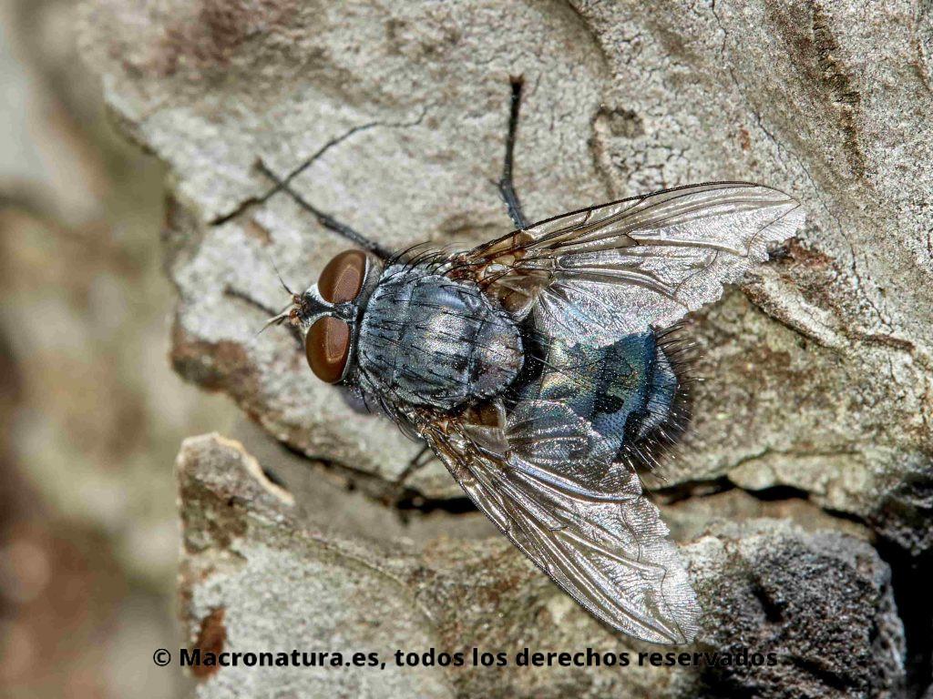 Mosca Azul género Calliphora. Calliphora vicina