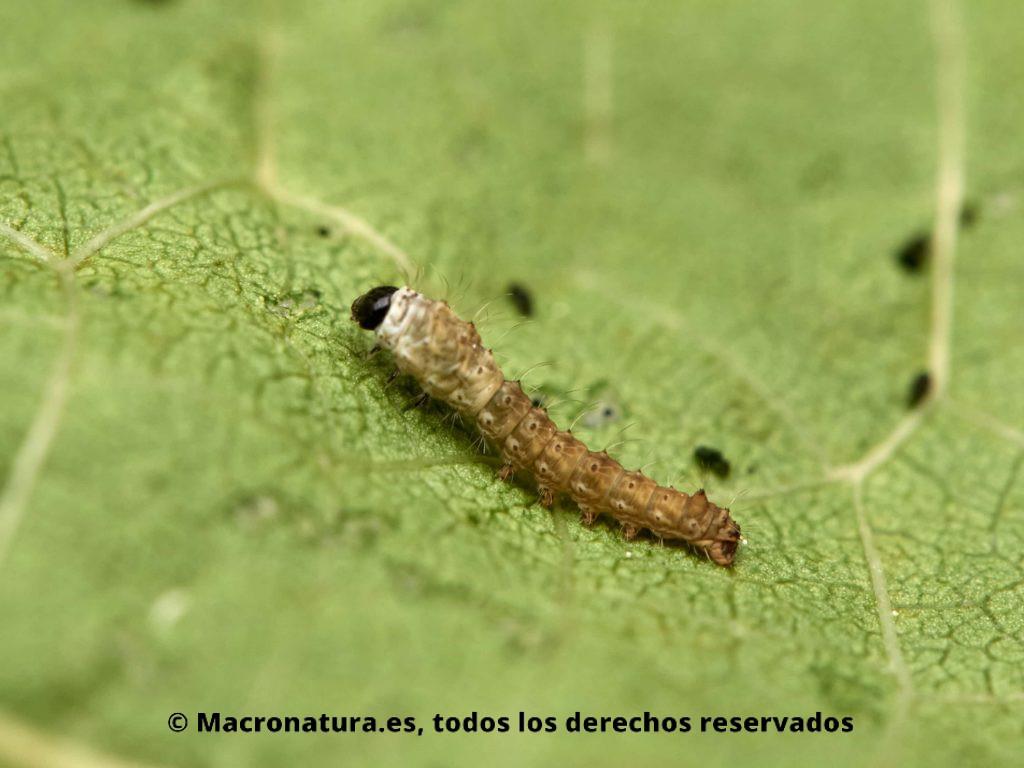 Larva de Gusanos de seda Bombyx mori en sus primeras fases