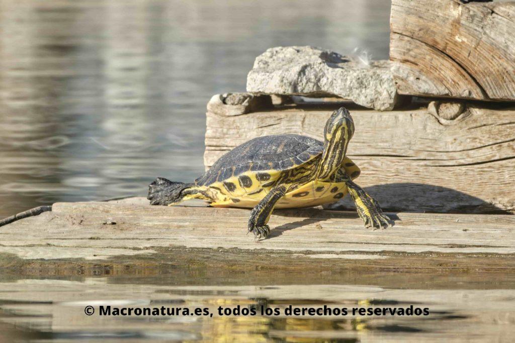 Tortuga de Florida Trachemys scripta en el agua tomando el sol