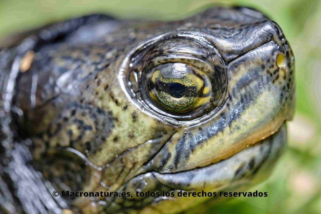Primer plano de una Tortuga de Florida Trachemys scripta en el agua. Detalle de ojos y cabeza