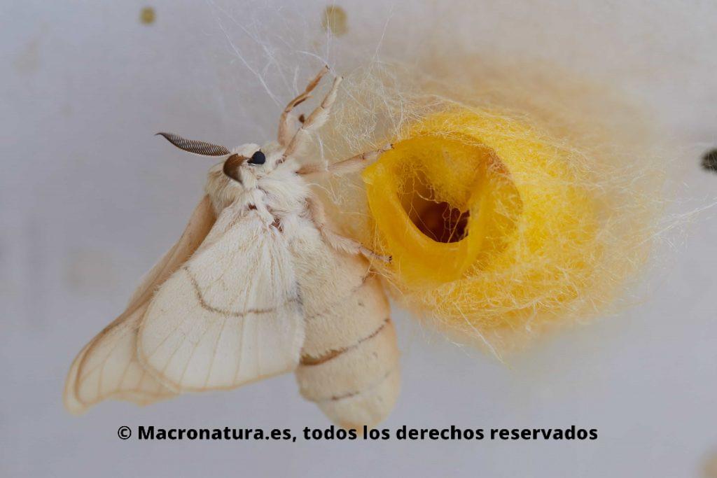 polilla gusano de seda recién salida del capullo
