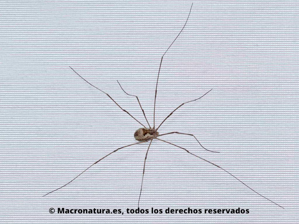 Araña Patona Opilión Metaphalangium cirtanum con todas sus patas abiertas