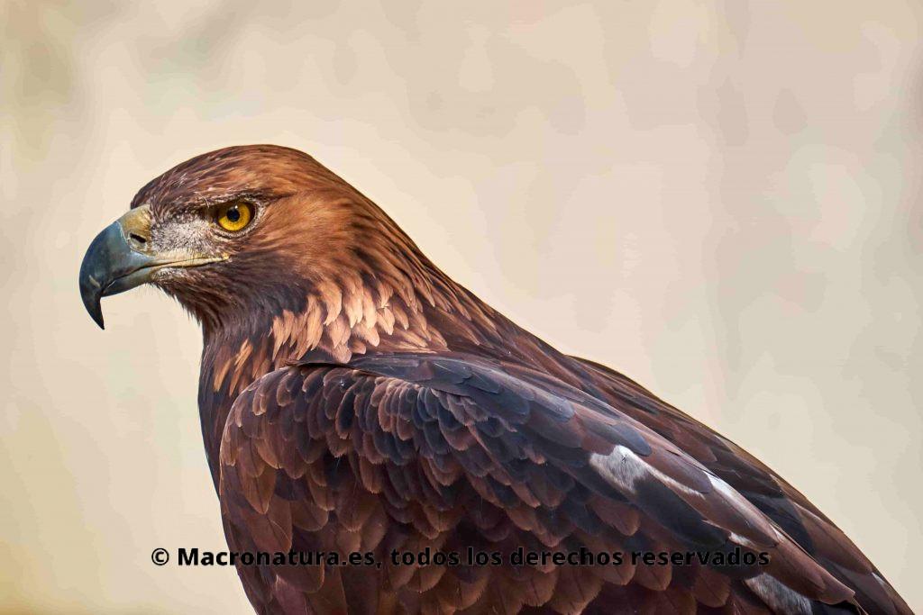 Un águila en un plano lateral